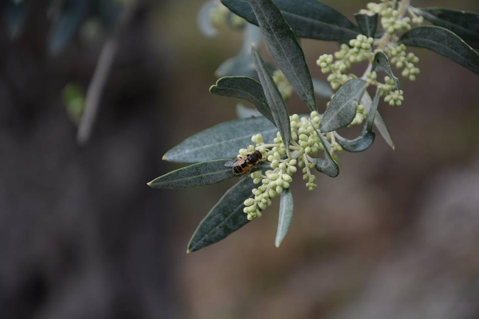 Virágzott az oliva