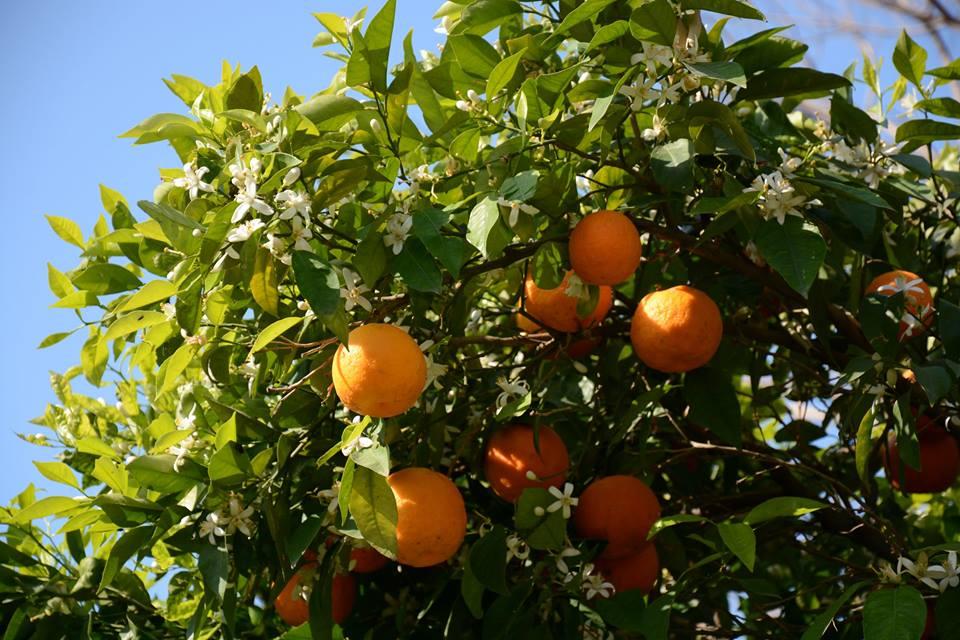 A reggeli narancslé alapanyaga